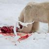 Polar bear, Ursus maritimus, and Ivory Gull