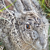Swamp Rabbit, Sylvilagus aquaticus