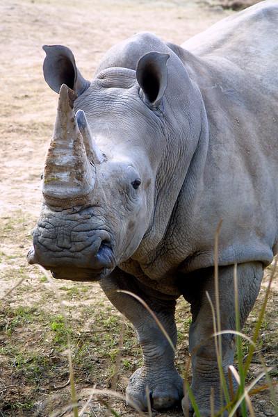 White RhinocerosCeratotherium simum