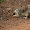 Mexican ground squirrel, Spermophilus mexicanus