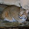 Bobcat,  Felis,  Lynx rufus
