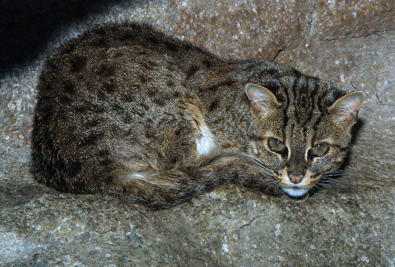 Leopard cat, Felis bengalensis
