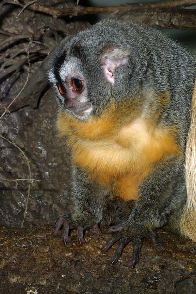 Owl Monkey, Aotus trivigatus vociferans