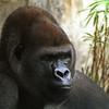 Gorilla,  Gorilla gorilla