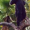 Chimpanzee,  Pan troglodytes