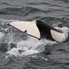 Killer whale, Orca, Orcinus orca