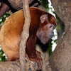 Red Howler Monkey, Alonatta  seniculus