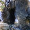 Mountain Gorilla, Gorilla gorilla gorilla