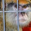 Patas Monkey in cage, Erythrocebus patas