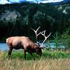 American Elk,  Cervus elaphus