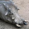 Warthog, Phacochoerus aethiopicus