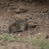 Cotton Rat, Sigmodon hispidus