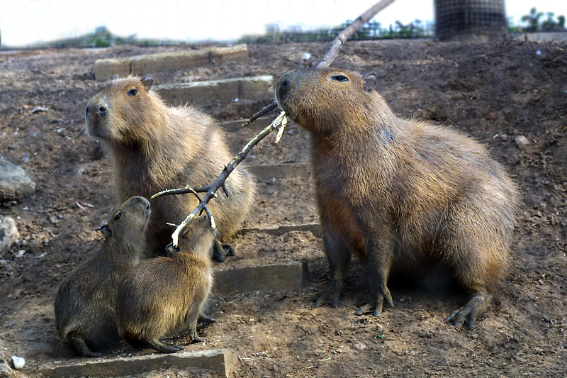 CapybaraHydrochaeris hydrochaeris