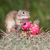 Mexican Ground Squirrel, Spermophilus mexicanus, on Horse crippler cactus, Echinocactus texensis