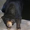 Sun Bear,  Helarctos (Ursus) malayanus