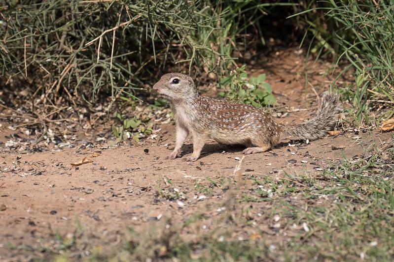 Mexican ground squirrel, Spermophilus mexicanus
