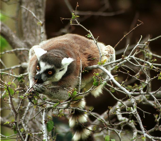 Ringtailed lemur, Lemus catta