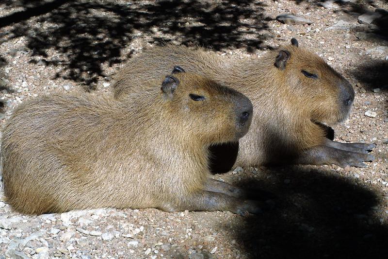 Capybara,  Hydrochaeris hydrochaeris