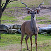Greater Kudu, Tragelaphus strepsiceros