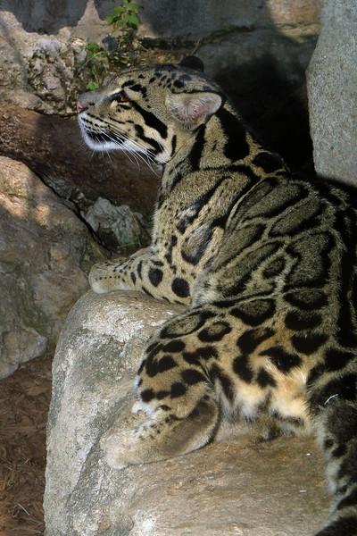 Clouded Leopard,  Neofelis nubulosa