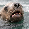 Steller Sea Lion, Eumetopias jubates