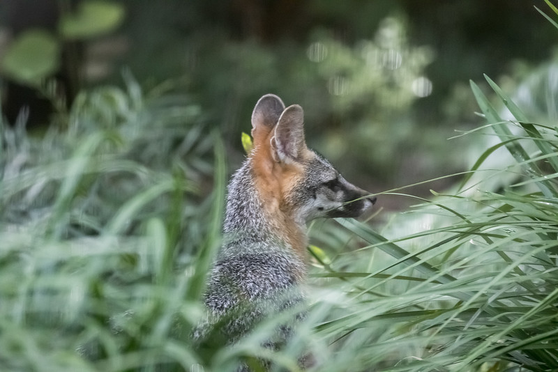 Common Gray Fox,  Urocyon cinereoargenteus