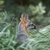 Common Gray Fox,  Urocyon cinereoargenteus