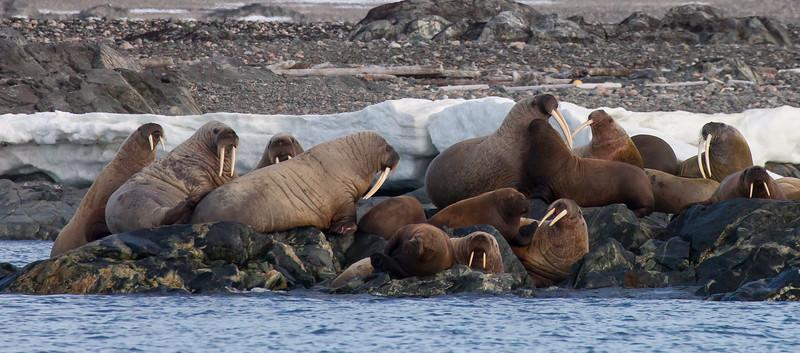 Walrus, Odobenus rosmarus