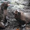 Galapagos Fur Seal, Arctocephalus galapagoensis