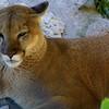 Cougar,  Felis concolor