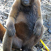 Brown woolly monkey, Lagothrix lagotricha