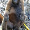 Brown woolly monkey, Lagothrix lagotricha