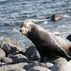 Galapagos Sea Lion, Zalophus wollebacki