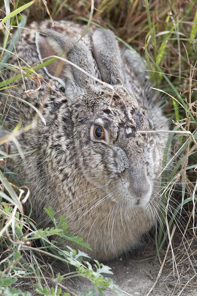 Swamp Rabbit, Sylvilagus aquaticus