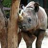 Black Rhinoceros,  Diceros bicornis