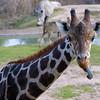 GiraffeGirafa camelopardalis