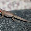 Galapagos Lava Lizard, Microlophus sp.