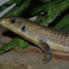 Plated Lizard, Gerrhosaurus major