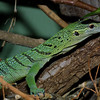 Green tree monitor, Varanus prasinus