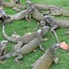 Green Iguana, Iguana iguana