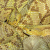 Northwestern neotropical rattlesnake, Crotalus durissus culminatus