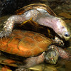 Indochinese serrated turtle,  Geoemyda spengleri
