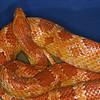 Corn Snake, Elaphe guttata
