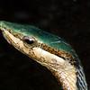African Twig Snake, Thelotornis kirklandii