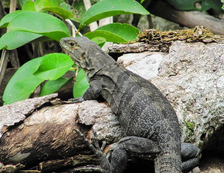 Black spiny-tailed iguana, Ctenosaura similis, female