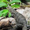 Black spiny-tailed iguana, Ctenosaura similis, female