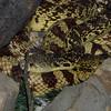 Louisiana Pine Snake, Pituophis melanoleucus ruthveni