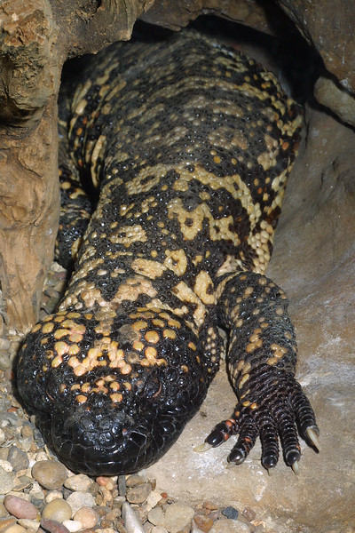 Mexican Beaded Lizard, Heloderma horridum horridum