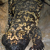 Mexican Beaded Lizard, Heloderma horridum horridum