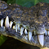 Philipine Crocodile, Crocodylus mindorensis